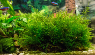 java moss in aquarium