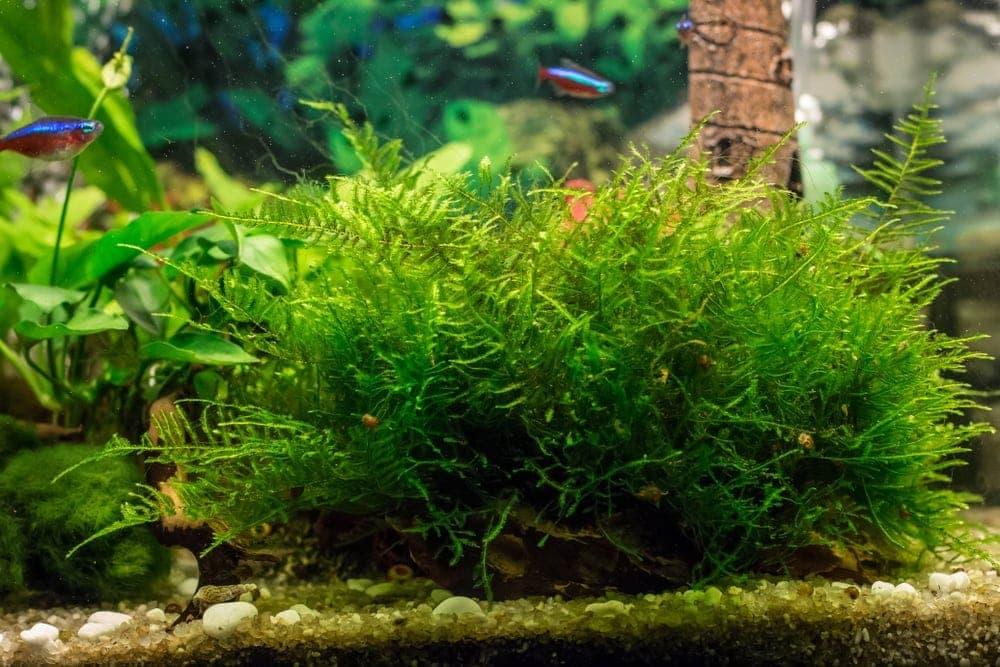 java moss in aquarium