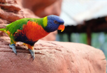 Lory Care Guide - Types, Lifespan & More