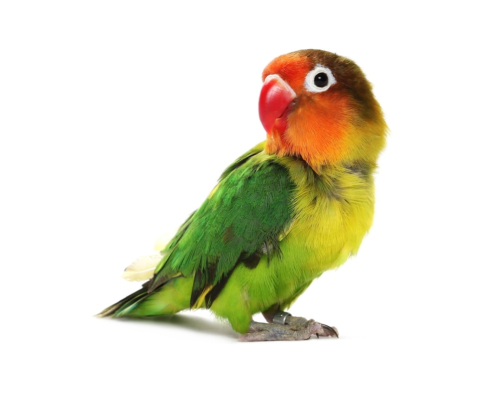 lovebird white background