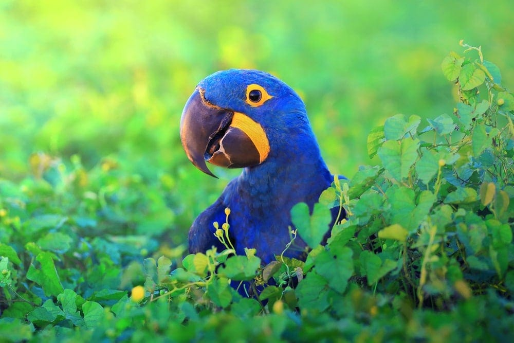macaw blue 1