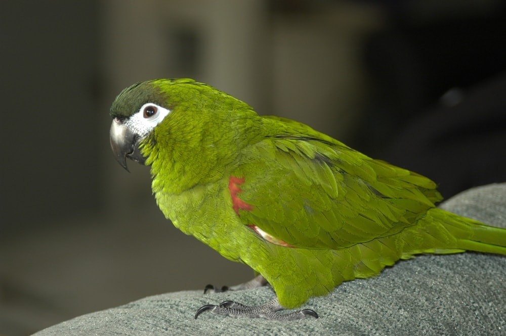 macaw green