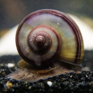 Mystery Snail - Care Guide