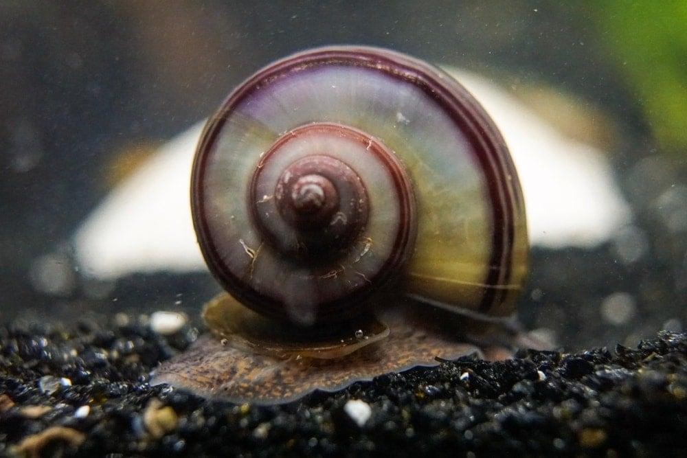 mystery snail on gravel