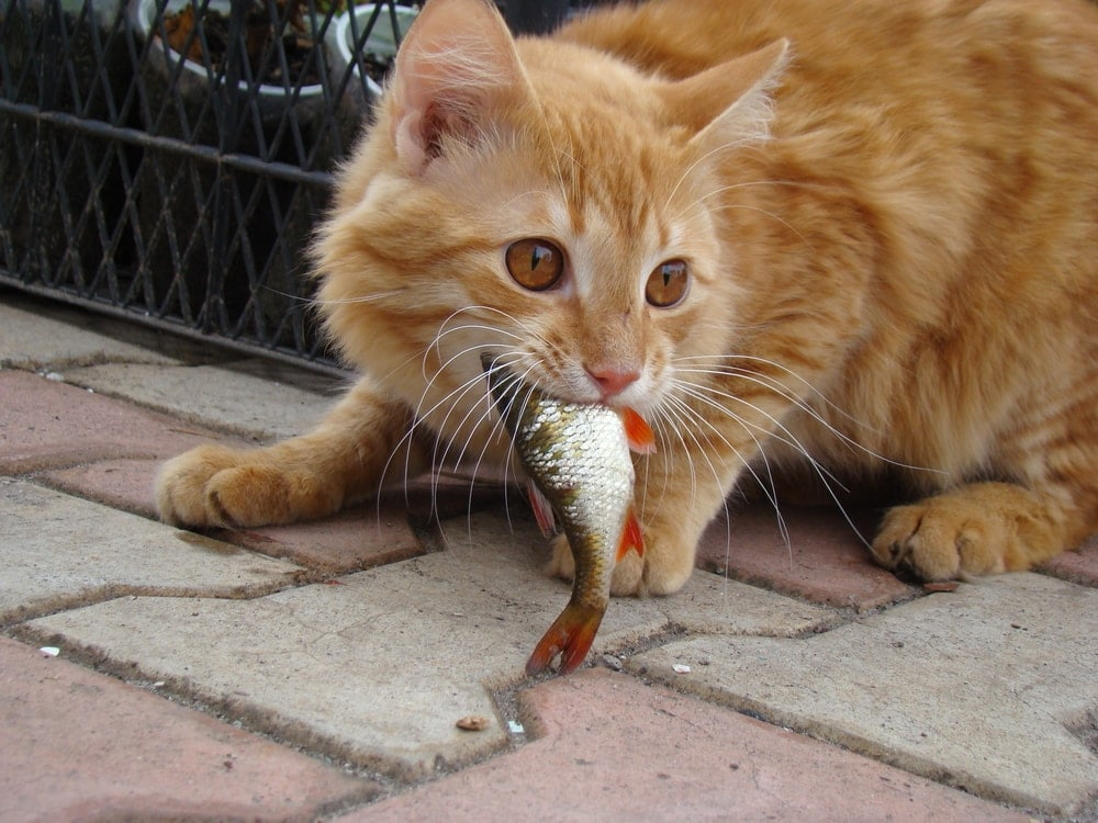 orange cat eating fish