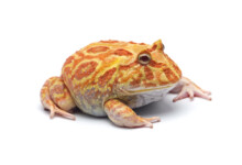 Pac Man Frog Care guide & prices