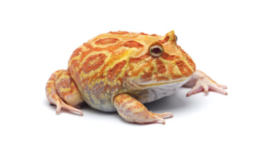 pac man frog white bg