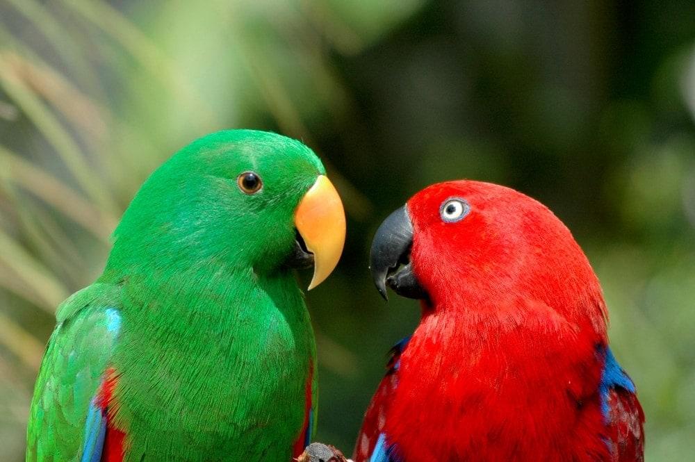 parrot couple 1