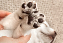 How Big your Puppy will be by his Paws?