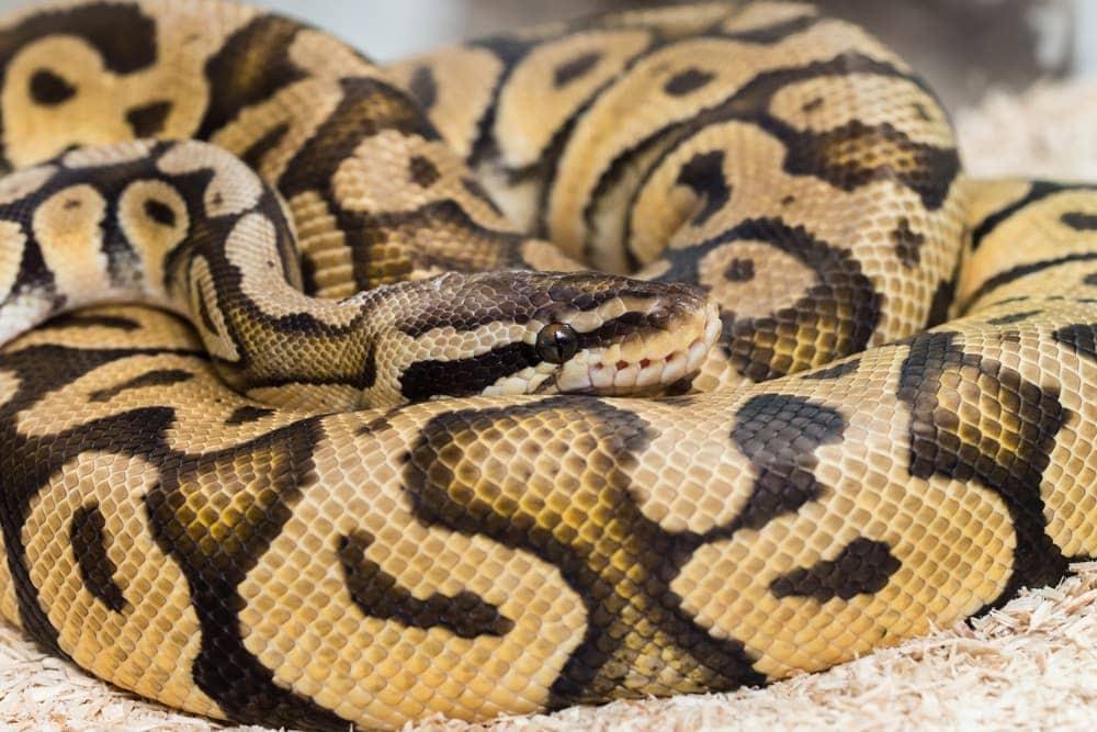 python ball