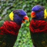Rainbow lory - Care Guide, Information & Price