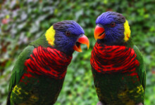 Rainbow Lory Care Guide - Diet, Lifespan & More
