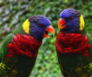 rainbow lory couple 1