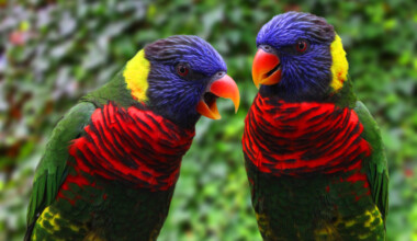 rainbow lory couple 1