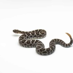 Do Rattlesnakes Nurse Their Young?