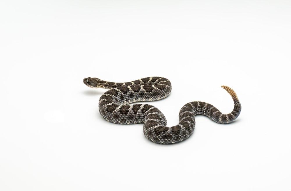 rattlesnake white background 1