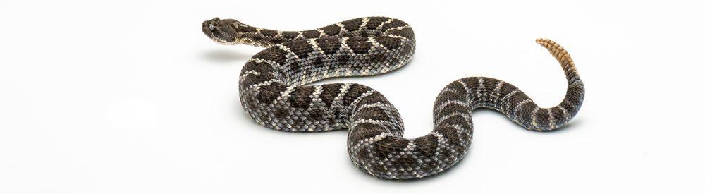 rattlesnake white background e1575726168215