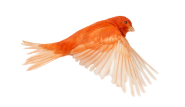 red canary bird 1