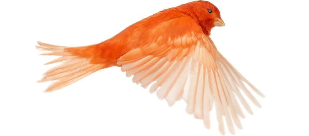red canary bird e1575818613293