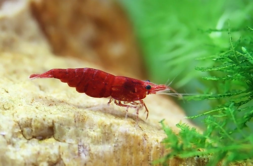 red cherry shrimp bottom