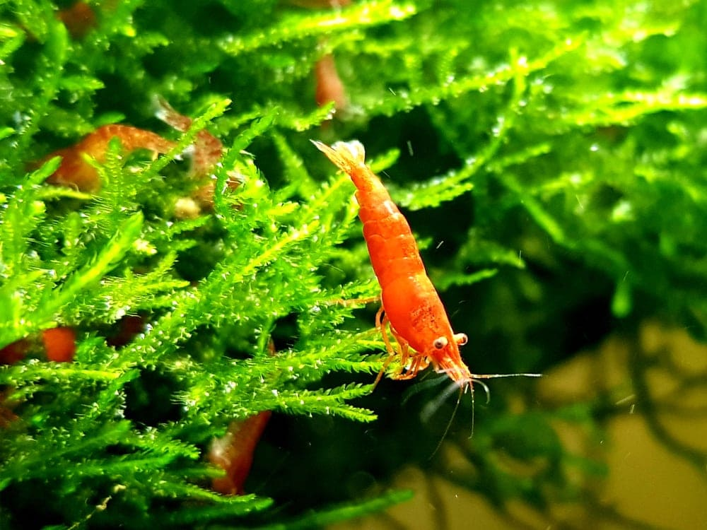 red cherry shrimp on moss