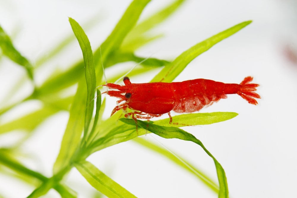 red cherry shrimp on plants