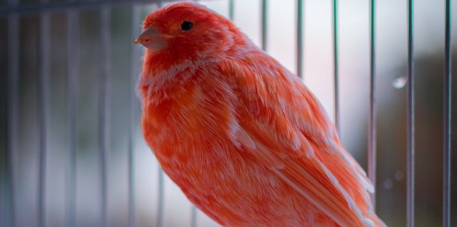 red factor canary in cage 1 e1575819891801