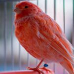 Red Factor Canary - Care Guide, Info & Price