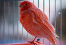 Red Factor Canary Care Guide, Info & Price