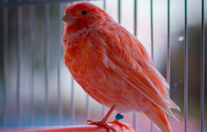red factor canary in cage e1575819855282