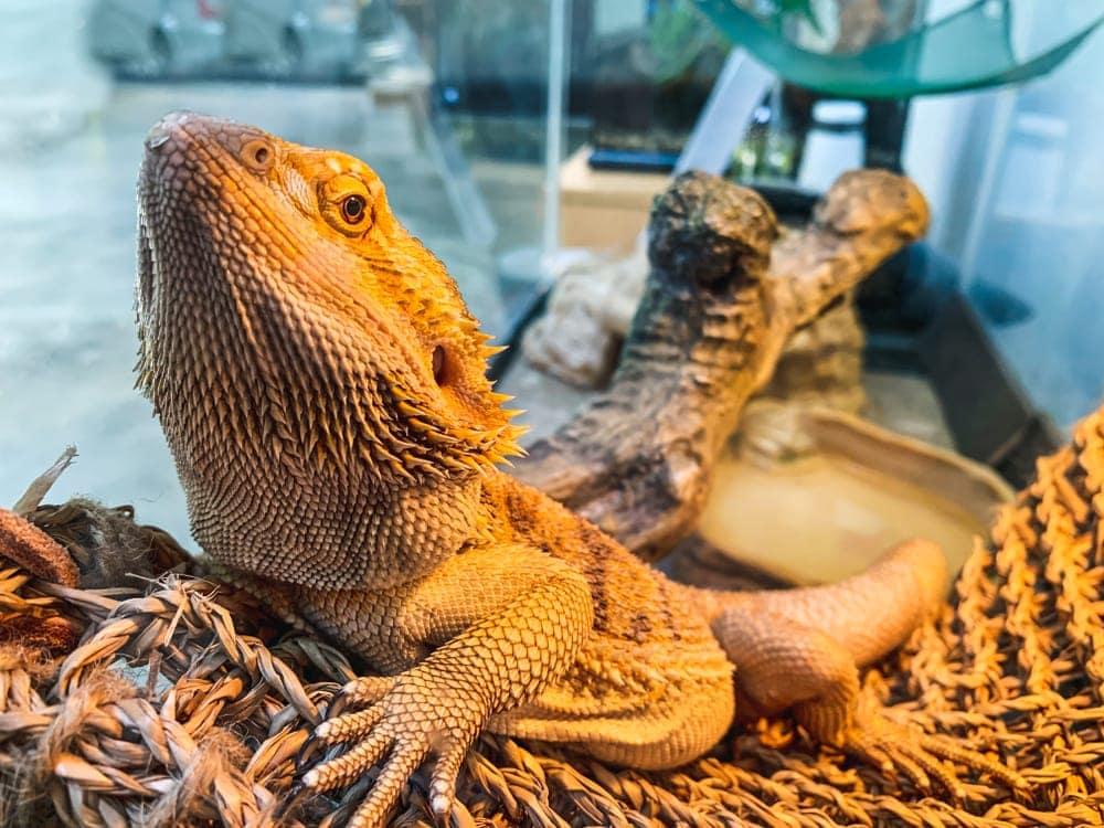 sad bearded dragon