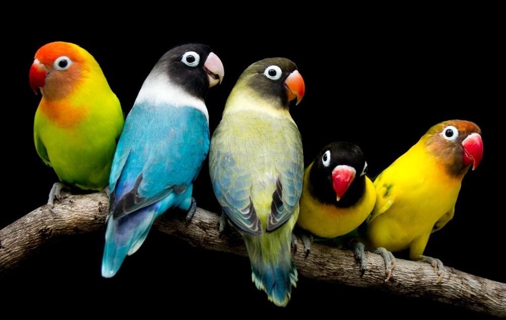 several different lovebirds