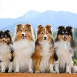 Shelties vs. Collies Differences