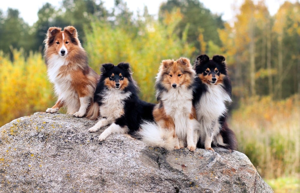 shelties in forest
