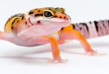 Leopard Gecko Care Guide & Price