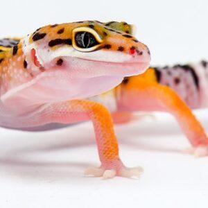 Leopard Gecko - Care Guide & Price