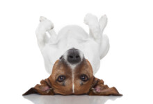 Why Do Dogs Lie on Their Backs?