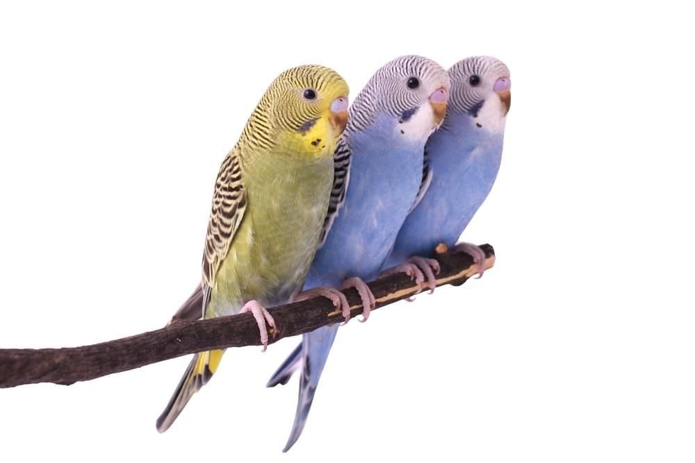 three Budgie Parakeet