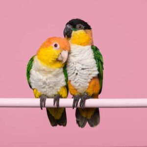 Caique - Care Guide, Information & Price