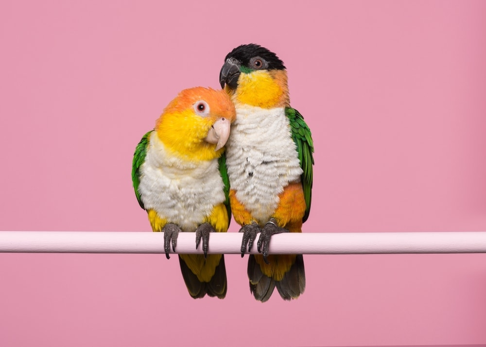 two Caiques on a stick