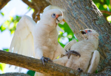 Goffins Cockatoo Care Guide - Diet, Lifespan & More