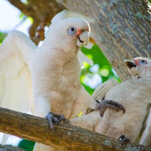 Goffins Cockatoo - Care Guide, Info & Price