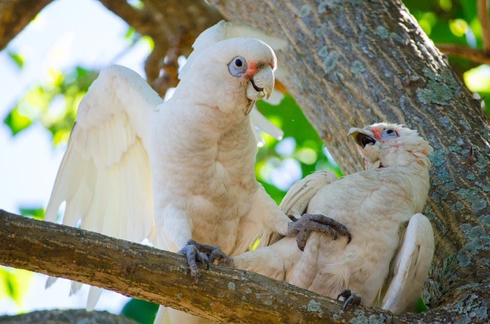 two Goffins cockatoo