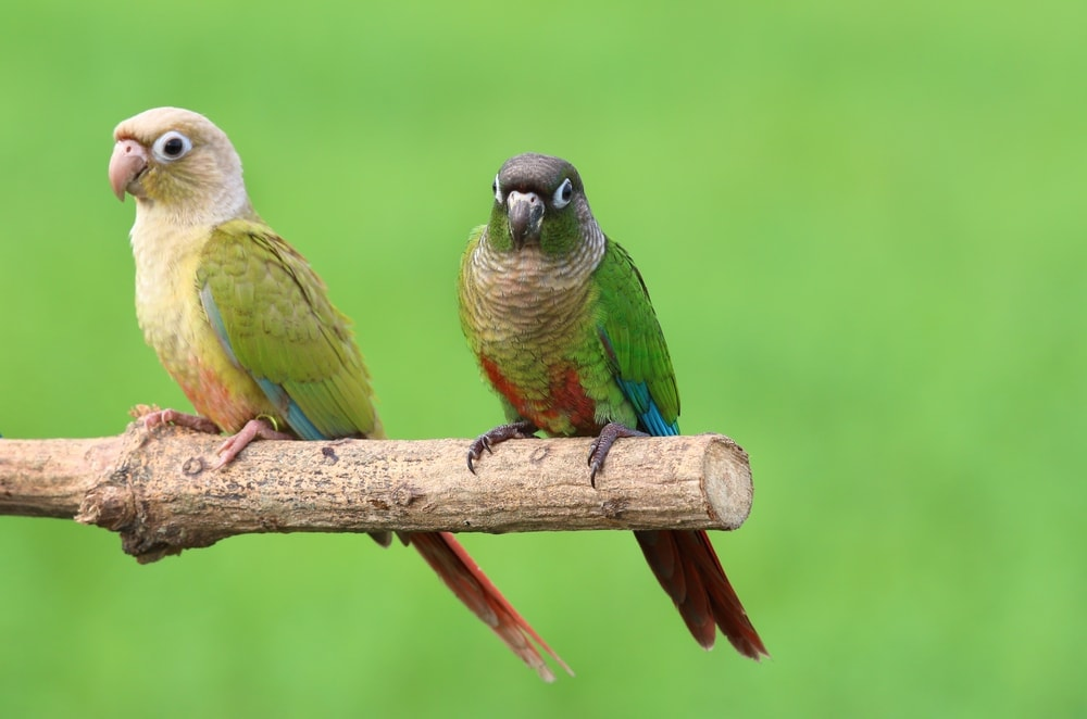 two Green Cheeked Conure