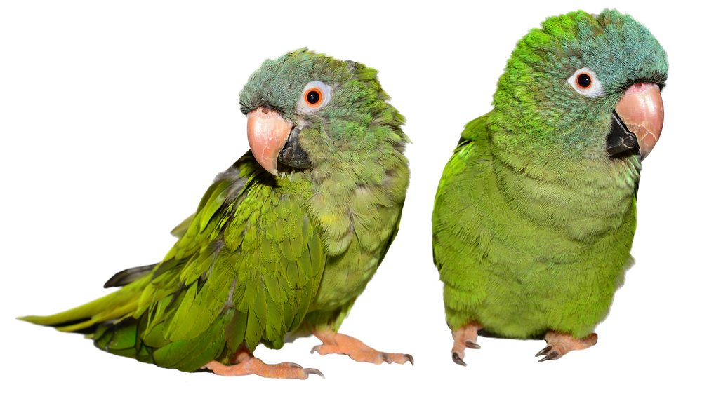 two blue crowned conures 1 e1575820349911