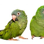 Blue Crowned Conure Care Guide - Diet & Lifespan