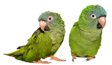 two blue crowned conures