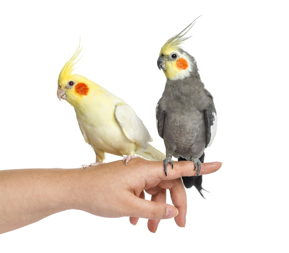 two cockatiels