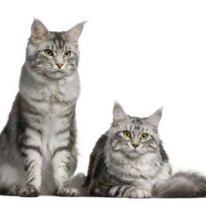 How Often do Cats go into Heat?