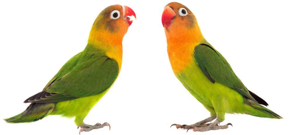 two lovebirds 1 e1575472983438